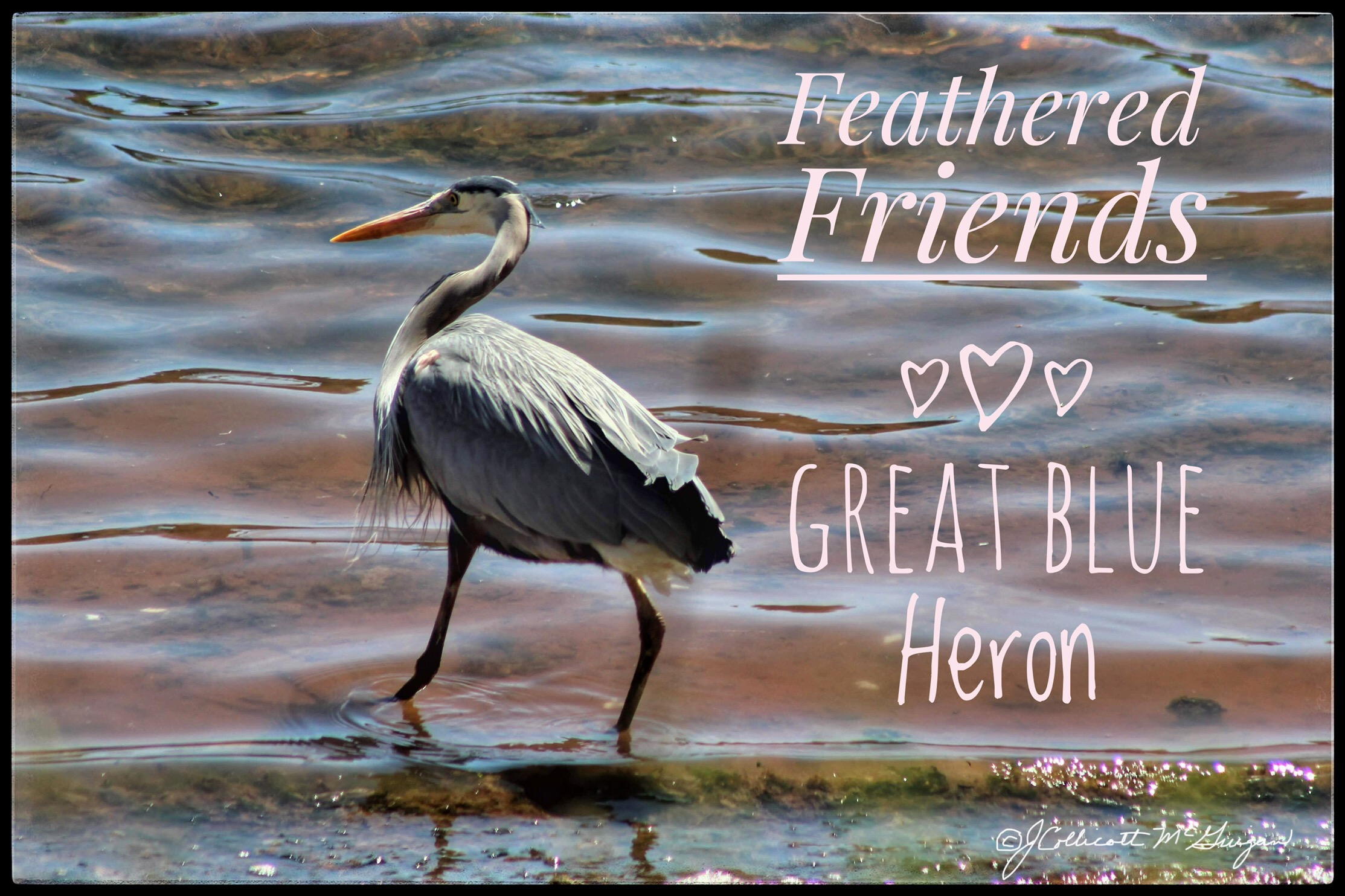 Feathered Friends: The Great Blue Heron