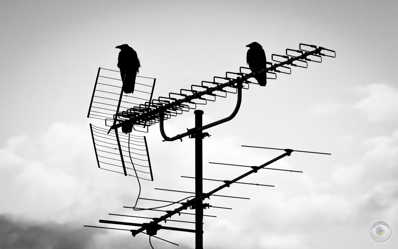 8133_crows_on_antenna_liquideye_.jpg