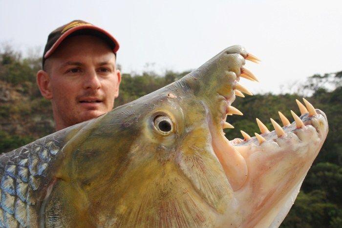 goliath tigerfish close up David.mailland 4.0.jpg