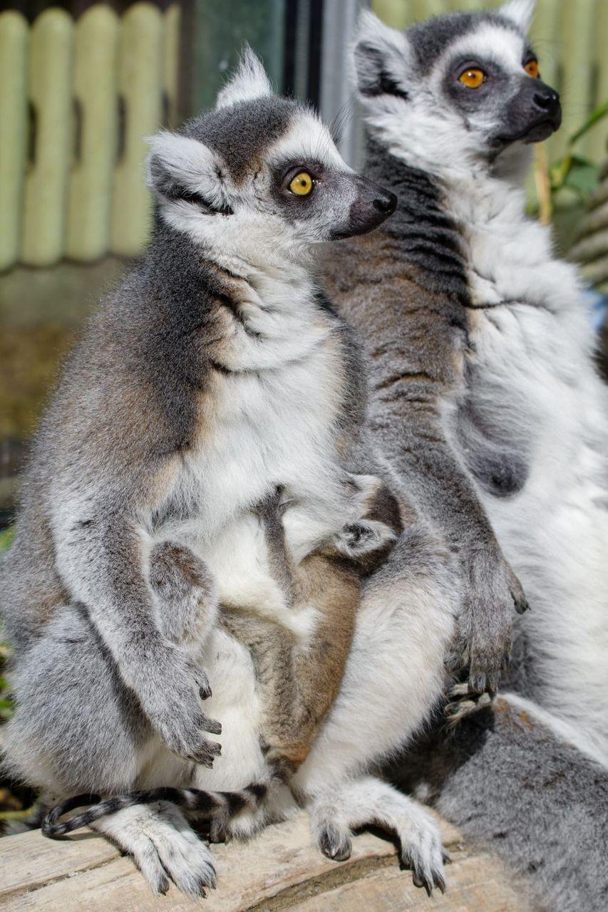 Lemur group with young Mathias Appel public domain.jpg