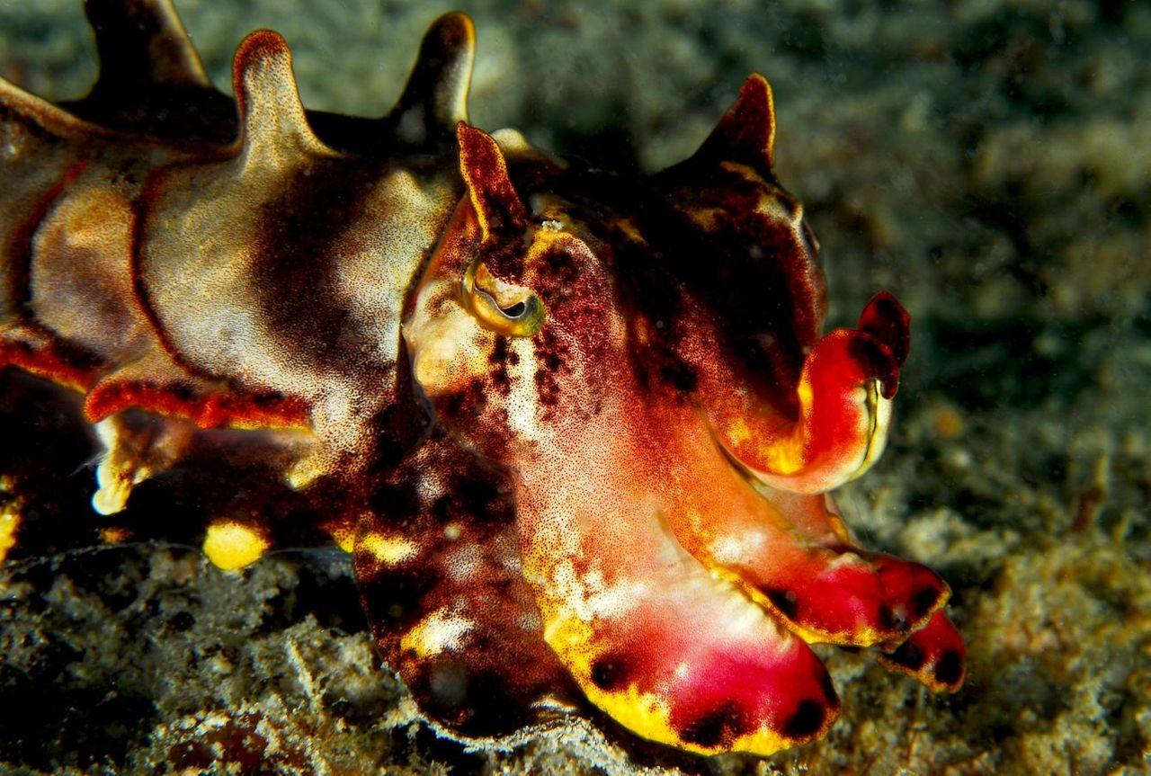 Flamboyant Cuttlefish credit Jenny (JennyHuang) from Taipei 2.0.jpg