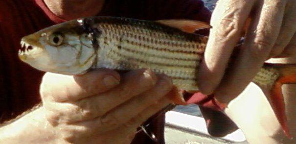 Tigerfish Hydrocynus Vittatus Viridiflavus 3.0.jpg