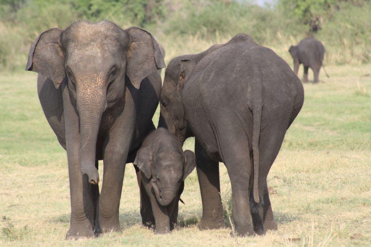 female elephants with a calf shankar s. from Dubai, united arab emirates 2.0.jpg