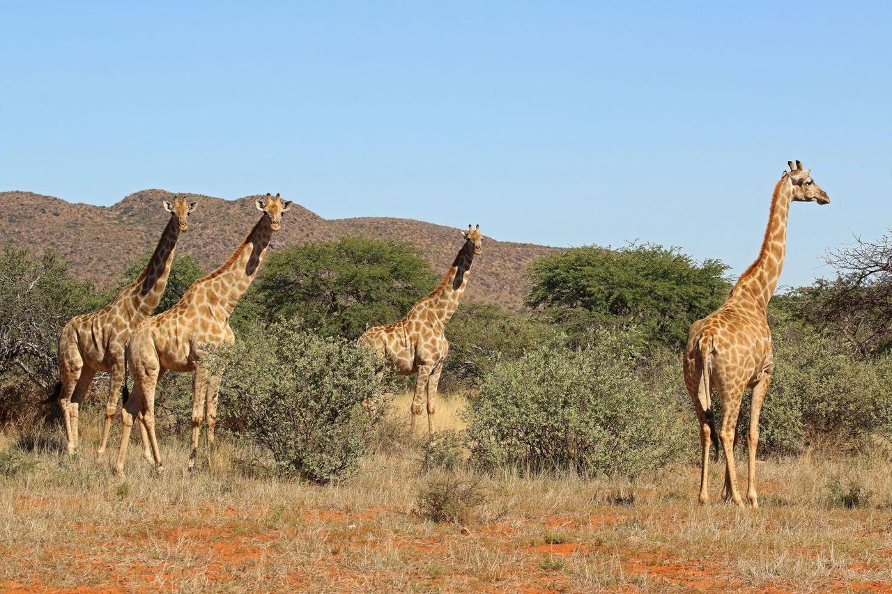Giraffe  Giraffa camelopardalis females 4.0.jpg