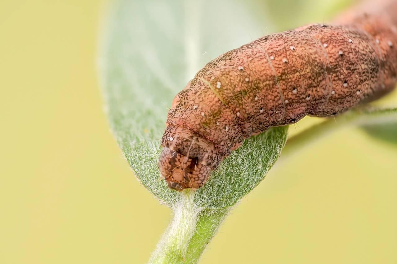 Achateule Phlogophora meticulosa_P18162196020200531.jpg