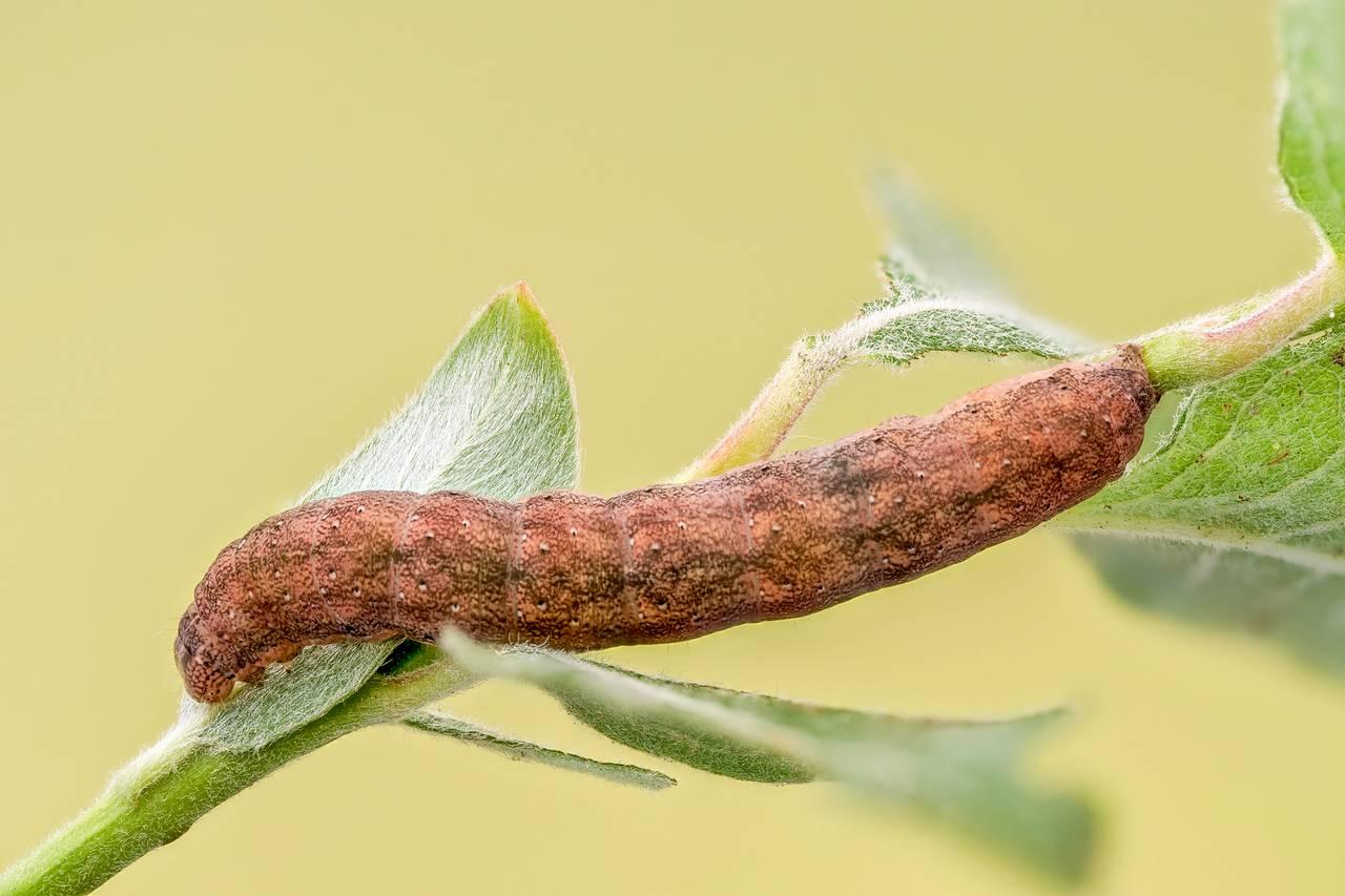 Achateule Phlogophora meticulosa_P18161615820200531.jpg