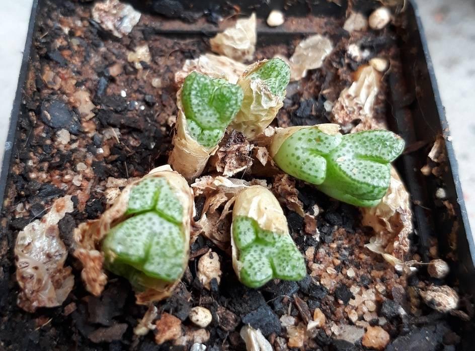 conophytum marginatum.jpg