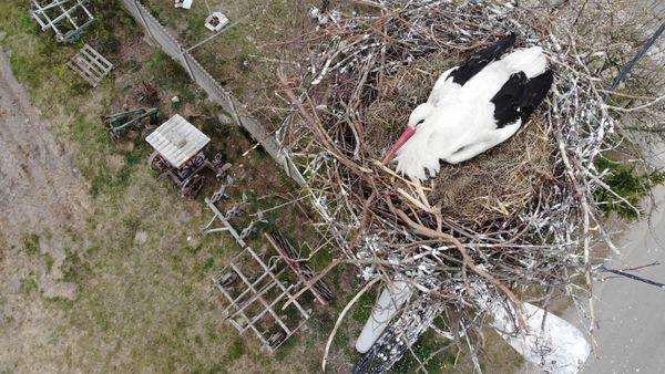 Flight over the stork's nest, how many eggs are there? (video). Lebanese stork killers