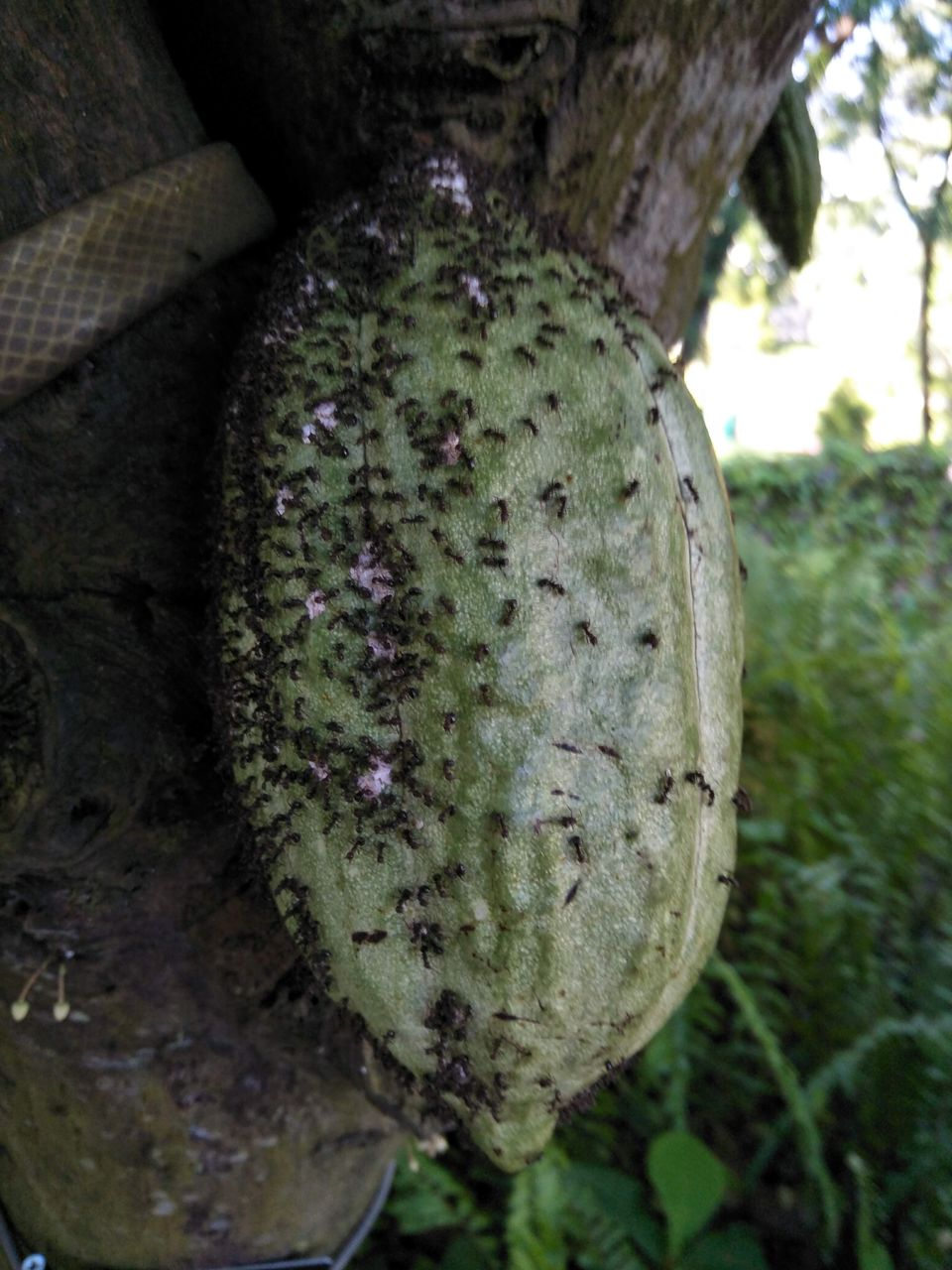 5 Cacao.jpg