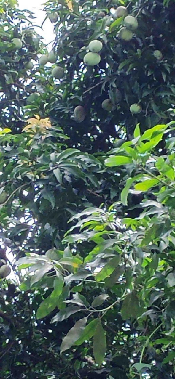 upload mango.jpg