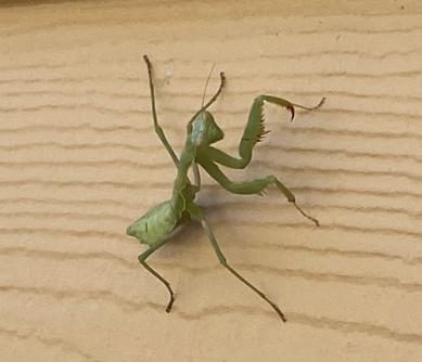 Praying Mantis.PNG