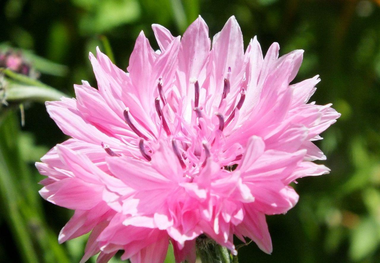 0264-PinkCornflower.JPG