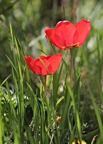 In love with spring - Garden flowers go wild and meet dandelions!