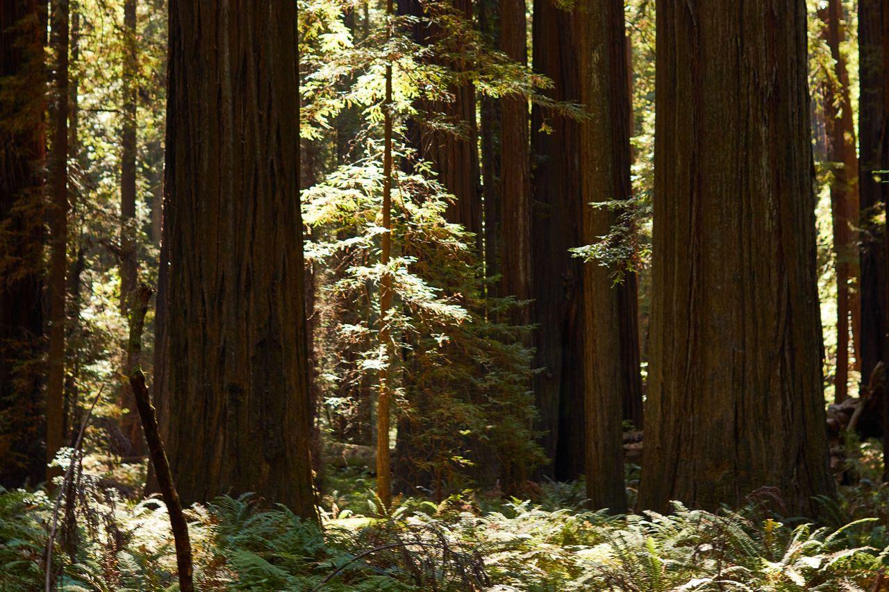 Redwoods024.jpg