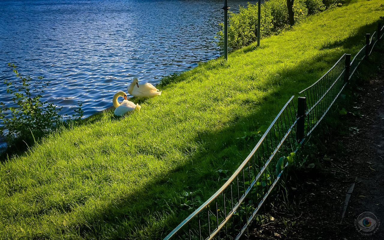 Swan Couple Morning Toilet