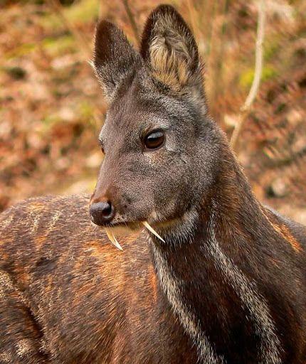 musk deer sci-news com.jpg