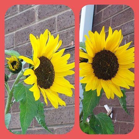 Sunflowers 2  26th Sept.jpg