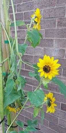 Sunflowers 3  26th Sept.jpg