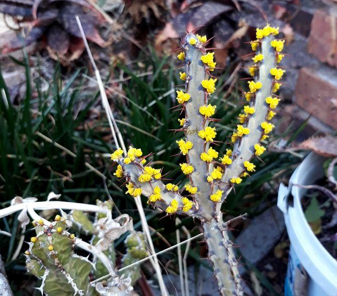 Euphorbia schinzii.jpg