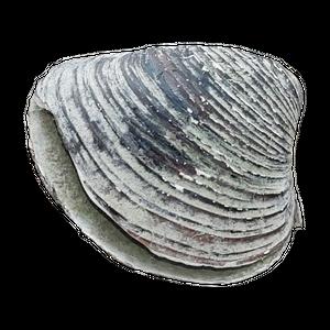 EN: A shell I once found on the Rhine (river). DE: Eine Muschel die ich einst am Rhein fand.