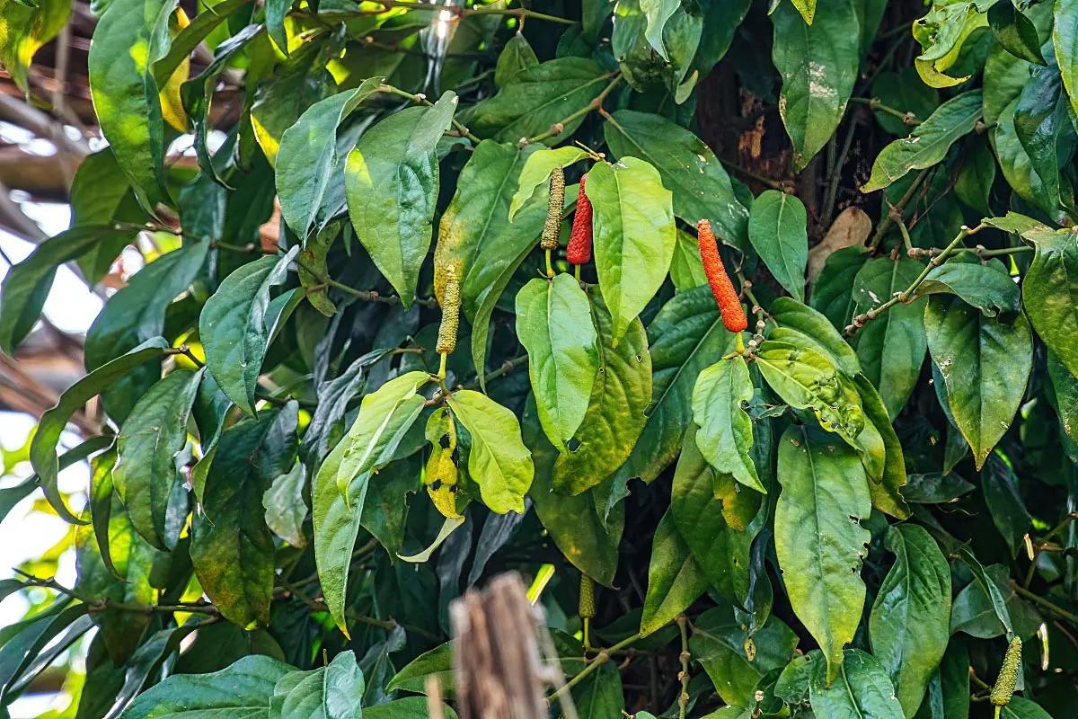 Long pepper has a bit more heat than traditional black peppercorns.