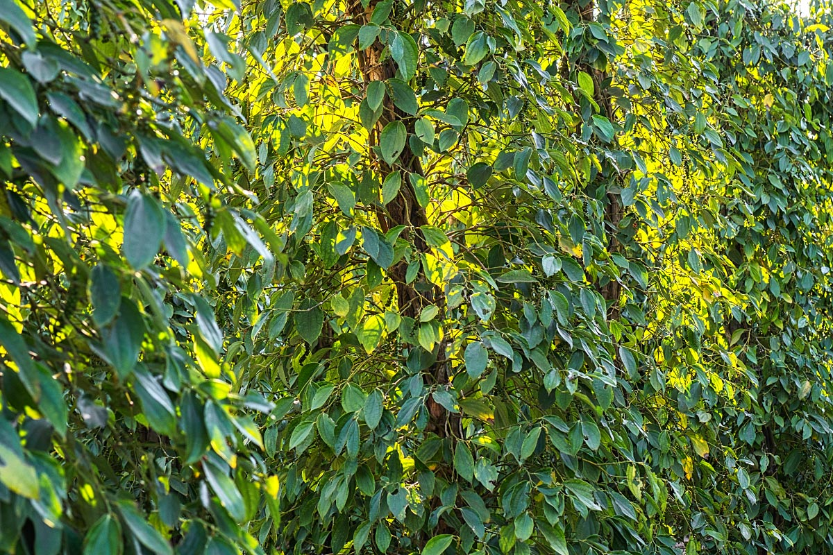 The same plant provides pepper harvest from February till May for over 20 years.