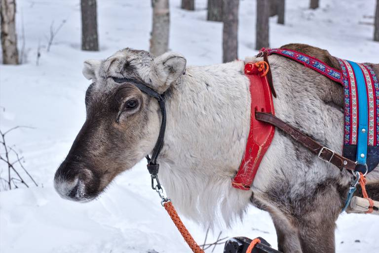 Reindeer safari photos, part #1