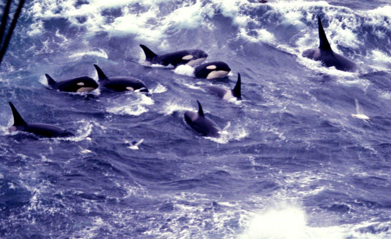 whales killer Pod credit Allen Shimada NOAA punlic.jpg