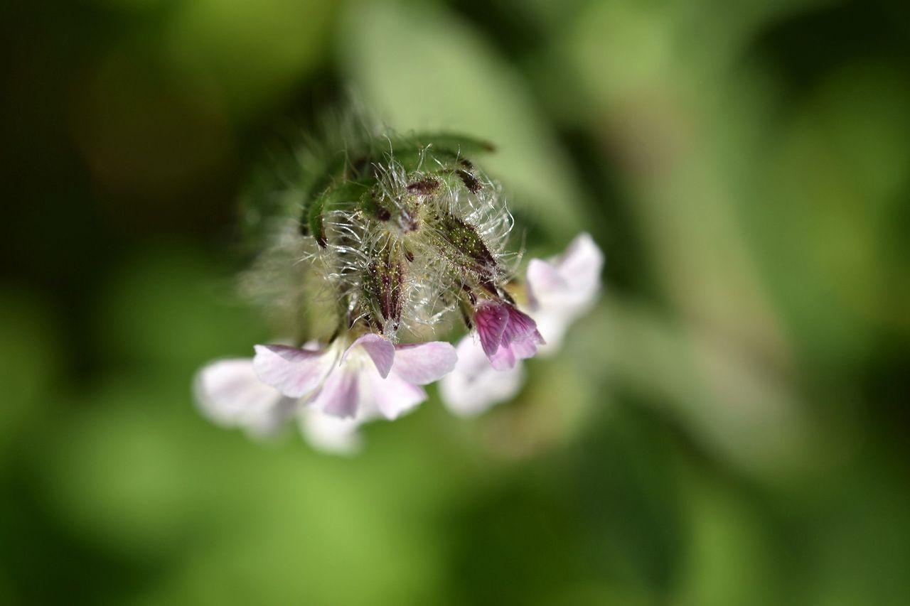 Silene gallica wildflower 5.jpg