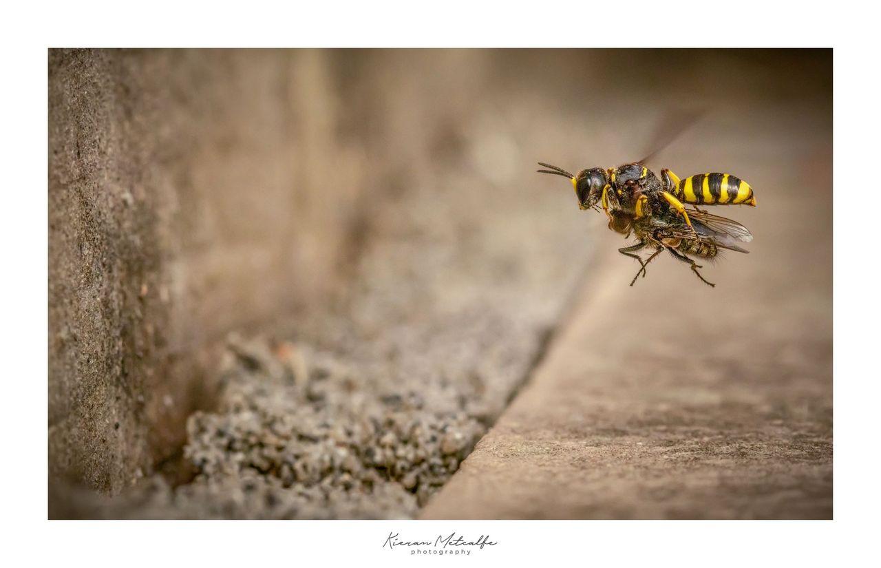 Digger Wasp with Prey - © Kieran Metcalfe BdrSig.jpg
