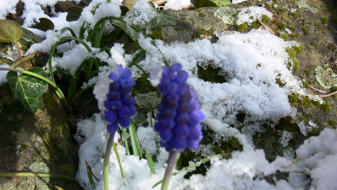 gartenblumen_im_schnee_6_traubenhyazinthe.jpg