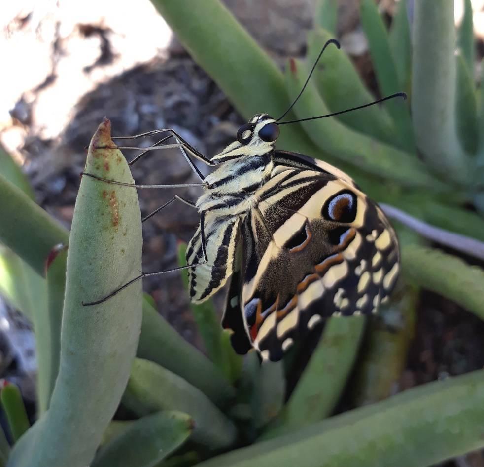 citrus swallowtail2.jpg