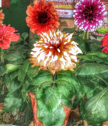 THE DAHLIA FLOWERING PLANTS ( THE PETALS OF THIS FLOWER ARE A KIND OF TRADITIONAL NATURAL USE, WHICH IS USED AS A KIND OF MEDICINE TO SOLVE THE PROBLEMS OF SOME PARTS OF THE EXTERNAL PART OF THE BODY )