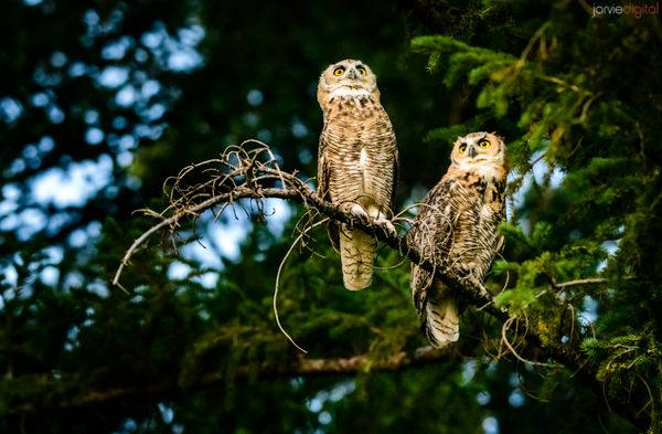 Owl Search 1 - Great Horned Owl Utah (6 pics)