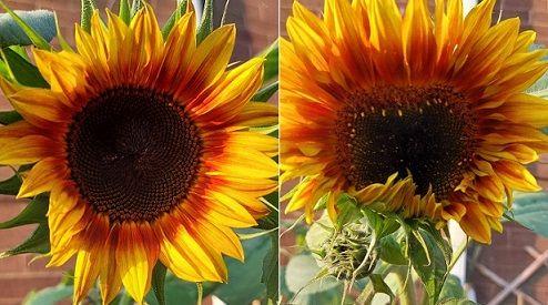 Red Sunflower july 2021 3.jpg