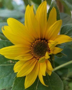 Small  Sunflower.jpg