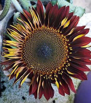 Red Sunflower Broken.jpg