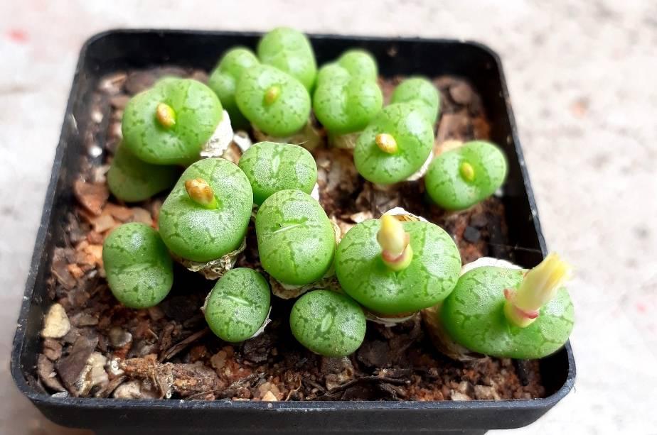 Conophytum obcordellum.jpg