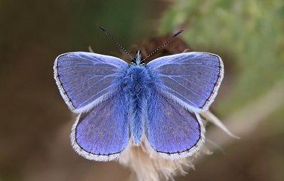 Common_blue_butterfly_Polyommatus_icarus_male_3 charles J. Sharp 4.0.JPG
