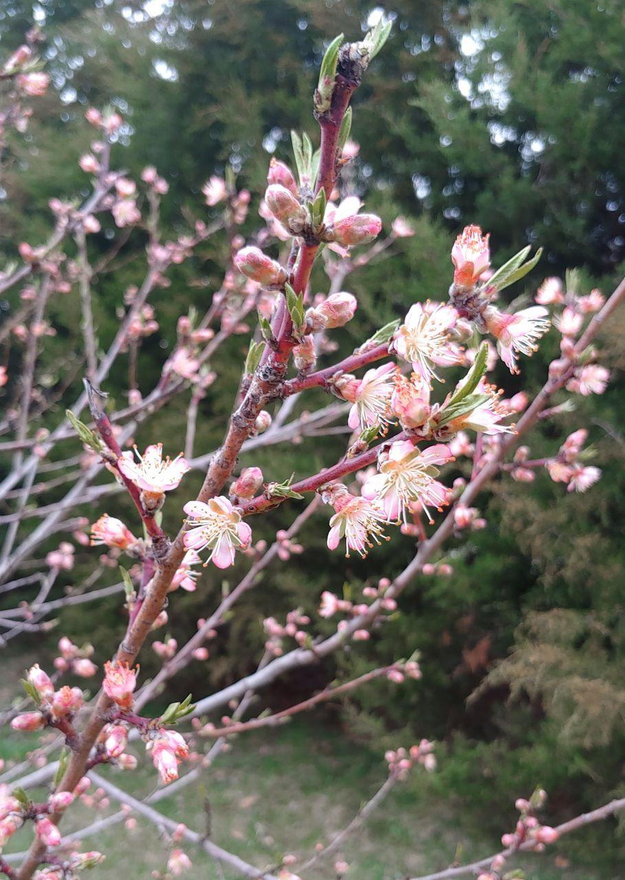 peach_blossoms.jpg