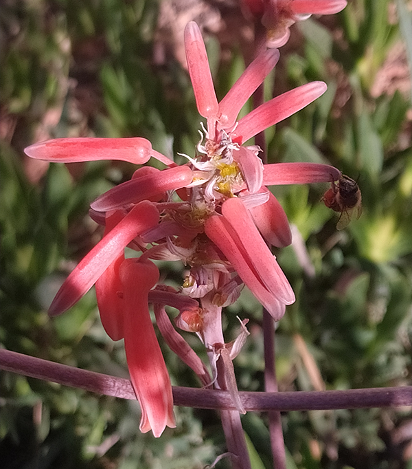 Bees pollinating Aloes.png