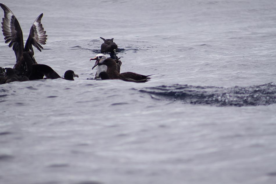 Birds fighting pelagic.png