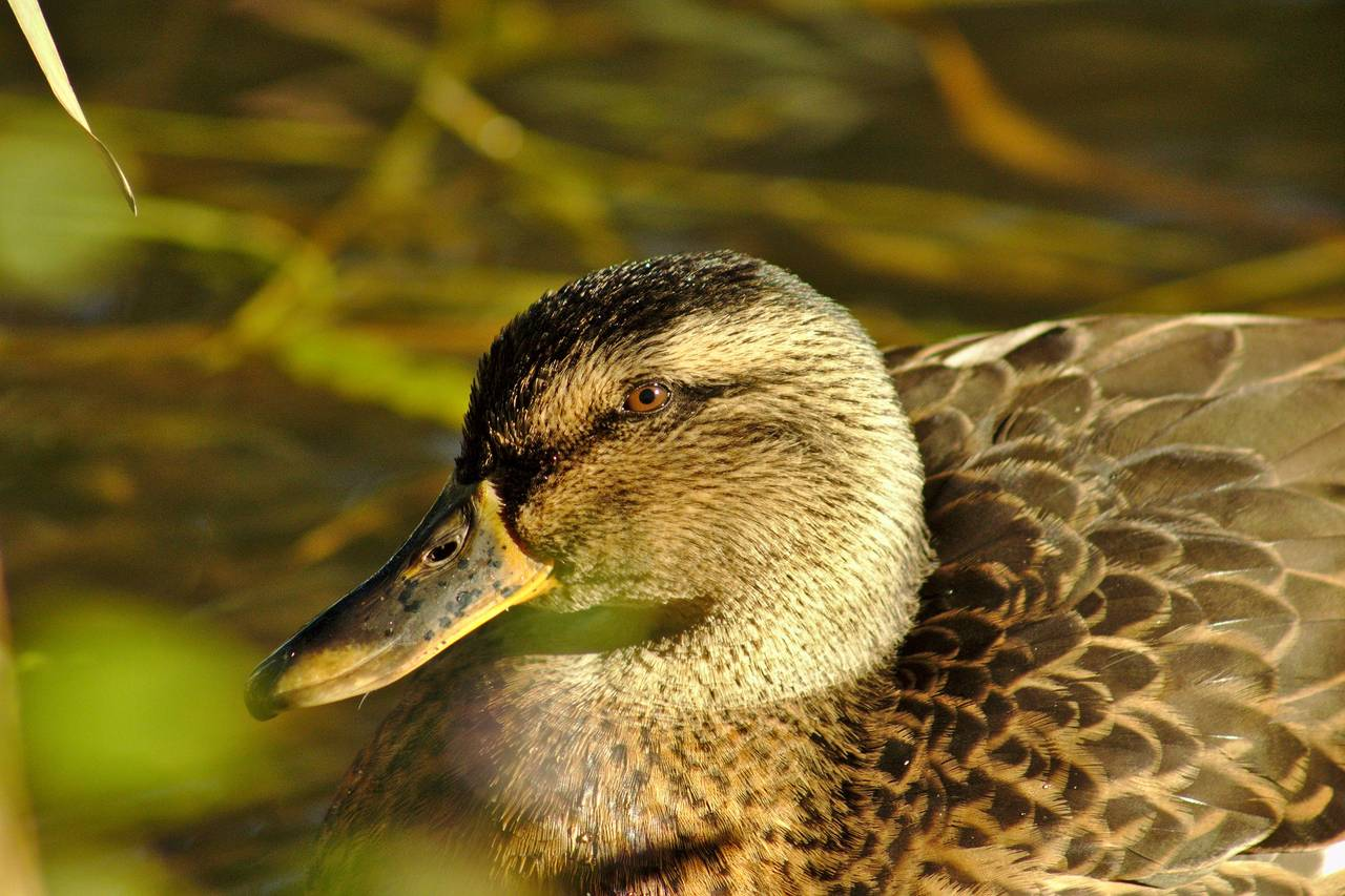 Just a duck