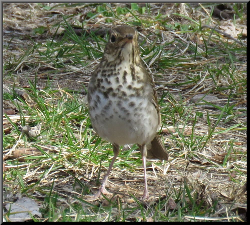 close up front view of thrush.JPG