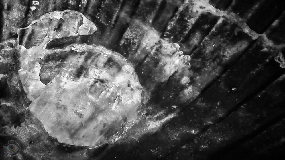 Seashell Fossil