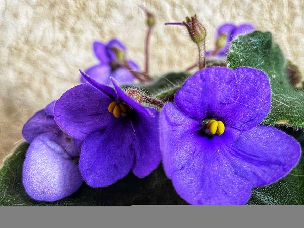 Homemade violets