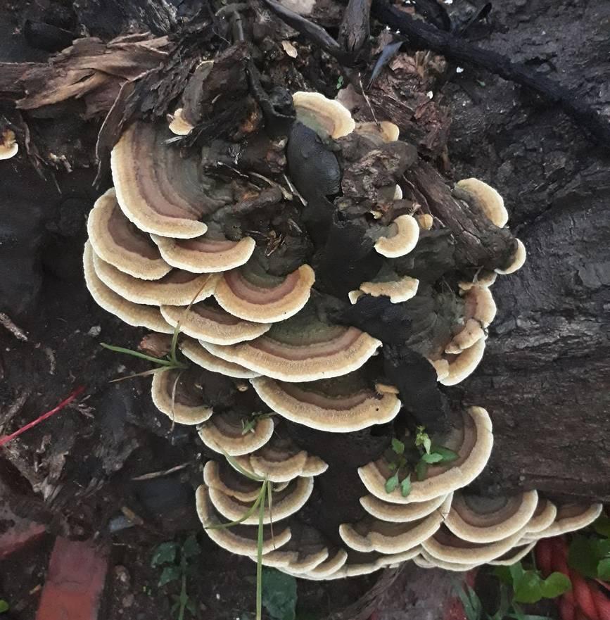bracket fungi2.jpg