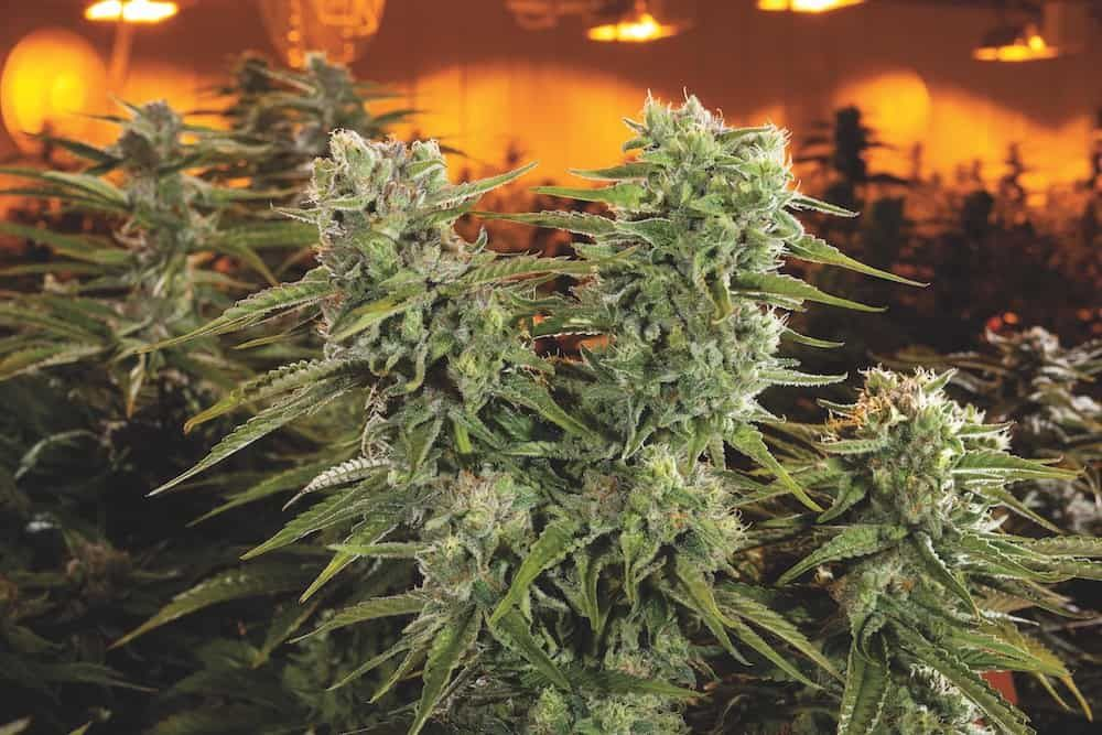 inside-aurora-cannabis-worlds-biggest-grow-featured.jpg