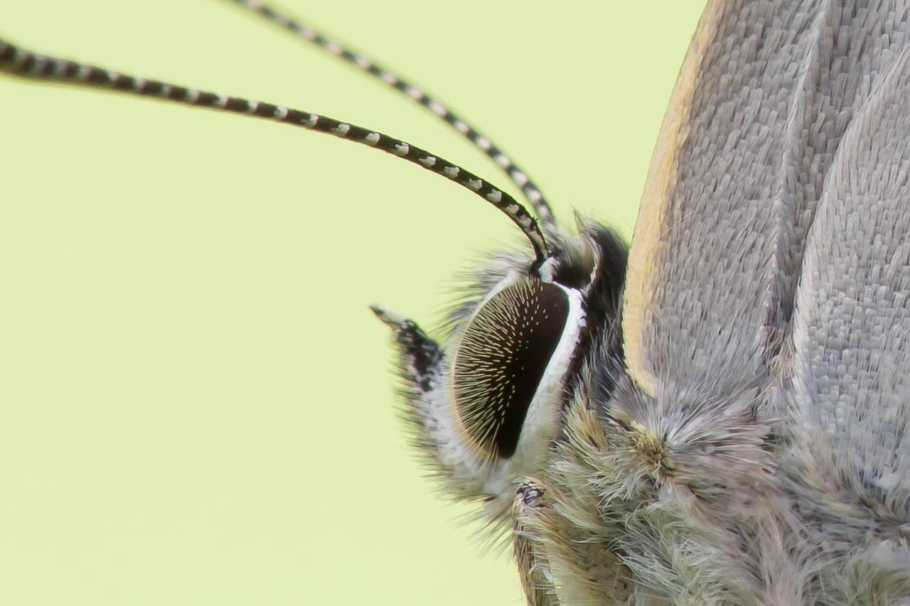 Blauer EichenZipfelfalter Favonius quercus_CI4A8015BFBF.jpg