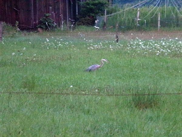 Blue heron in middle pasture2 crop July 2021.jpg